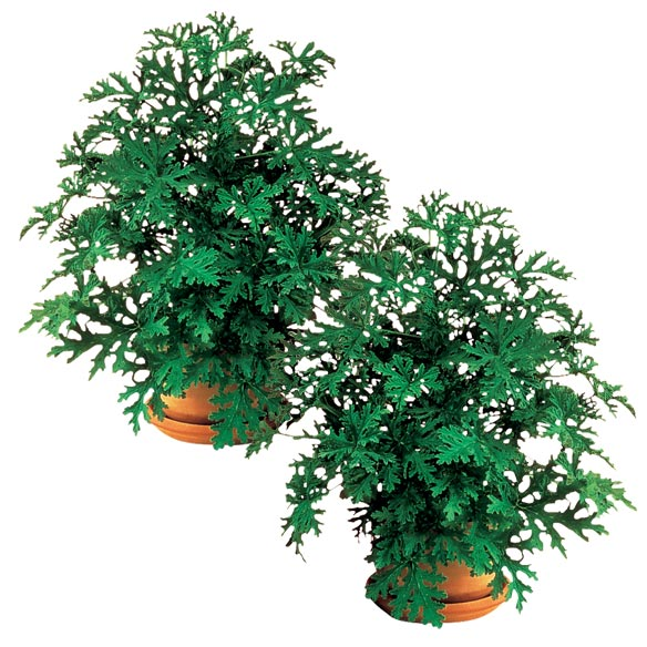 Anti Mosquito Plants Set/2