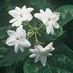 Lawn & Garden - Peacock Jasmine Plants - Set of 2