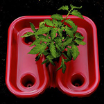 Tomato Super Grow Red Trays