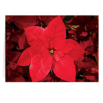 Christmas Cards - Christmas Poinsettia Card - Set Of 20