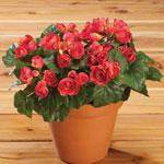 Decorative - Silk Begonia Bush
