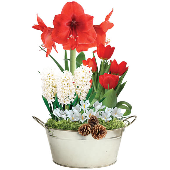 Grand Holiday Bulb Garden Bringing nature's beauty indoors, our Grand Holiday Bulb Garden promises a grand procession of blooms! The impressive 18-bulb flower garden includes white crocus, fragrant white hyacinths, Merry Christmas tulips and last but not least, the majestic Red Lion amaryllis. A beautiful gift that keeps on giving for weeks to come, the Grand Holiday Basket's premium bulbs arrive pre-planted in a metal pewter container decorated with 3 natural pine cones, topped with decorative moss. The holiday garden bulbs will begin flowering within 3-6 weeks! Includes easy directions. Planter: 14  L x 14  W x 7  H. This item will be available to ship 11/20/2017 through 12/31/2017; not available for shipping to Hawaii, Puerto Rico, Guam, Alaska.