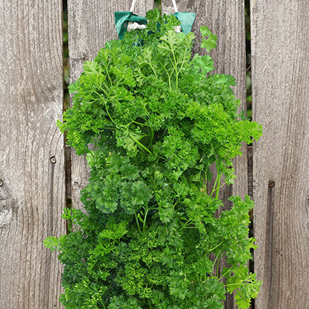 Organic Hanging Parsley Garden Kit 8.5 x21.5  Perfect for urban gardeners or anyone who wants to utilize small spaces, this vertical Organic Hanging Parsley Garden Kit makes it easy to grow organic parsley--right on your porch, patio or deck. Simply add soil and seeds, then hang the bag, water ... and prepare for fresh, home-grown parsley to sprout! No need for pots or planters; the easy-to-use hanging herb garden includes a poly bag, paper insert with premium seeds and poly rope for hanging. 8 1/2  x 21 1/2 . Made in USA.