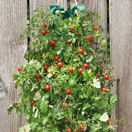 Organic Hanging Cherry Tomato Garden Kit 8.5 x21.5  This vertical Organic Hanging Cherry Tomato Garden Kit lets you grow in small spaces--hanging conveniently on your porch, patio or deck. Simply add soil and seeds, then hang the bag, water ... and wait for plump, juicy cherry tomatoes to grow. A great way to enjoy home-grown tomatoes in salads, pasta dishes and right off the vine, this kit lets you enjoy farmer's market goodness without the expense. No need for pots, planters or a green thumb; the easy-to-use Organic hanging tomatoes kit includes a poly bag, paper insert with premium seeds and poly rope for hanging. 8 1/2  x 21 1/2 . Made in USA.