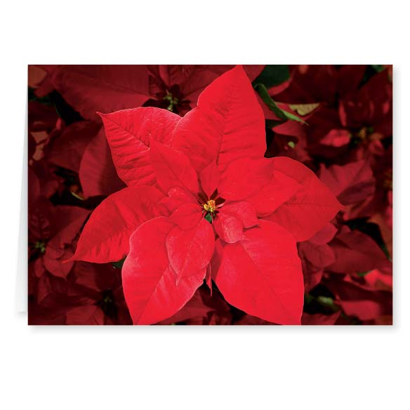 Christmas Poinsettia Card Set of 20 - View 2
